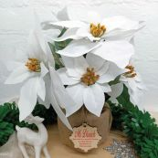 Teacher Christmas Poinsettia 6 Artifical Flowers White (38cmH)