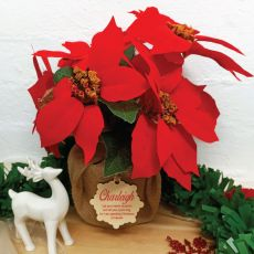 Memorial Christmas Poinsettia Potted 6 Flowers Red (38cmH)